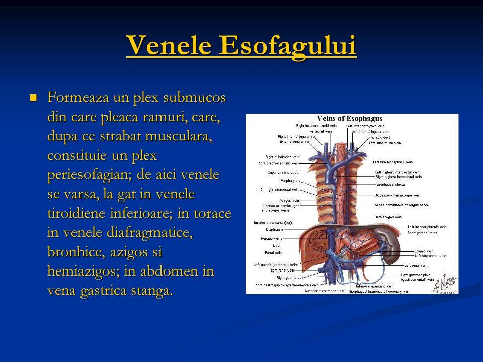 Venele Esofagului Formeaza un plex submucos din care pleaca ramuri, care, dupa ce strabat musculara, constituie un plex periesofagian; de aici venele