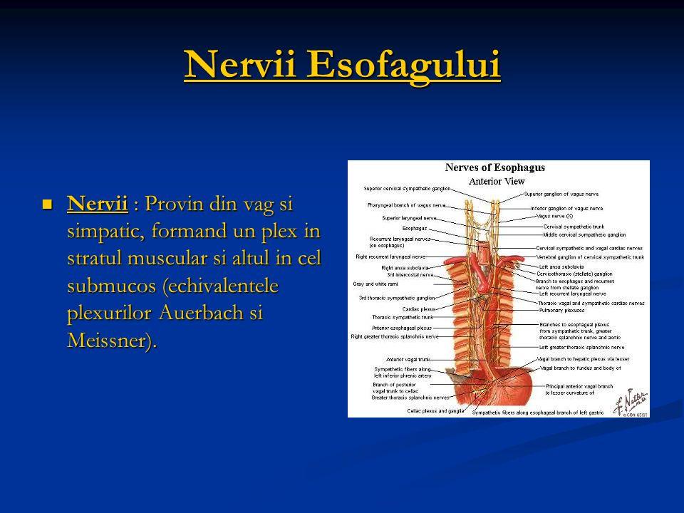 Nervii Esofagului Nervii : Provin din vag si simpatic, formand un plex in stratul muscular si altul in cel submucos (echivalentele plexurilor Auerbach