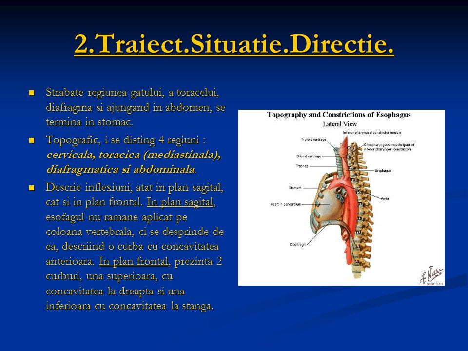 2.Traiect.Situatie.Directie. Strabate regiunea gatului, a toracelui, diafragma si ajungand in abdomen, se termina in stomac. Strabate regiunea gatului