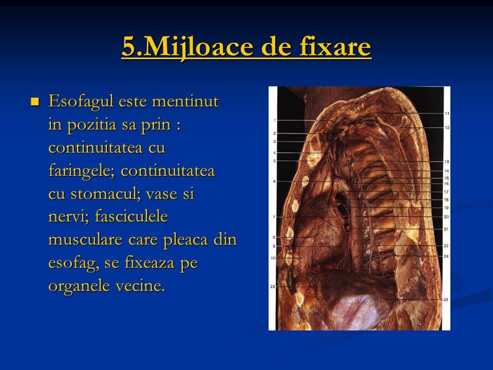 5.Mijloace de fixare Esofagul este mentinut in pozitia sa prin : continuitatea cu faringele; continuitatea cu stomacul; vase si nervi; fasciculele mus