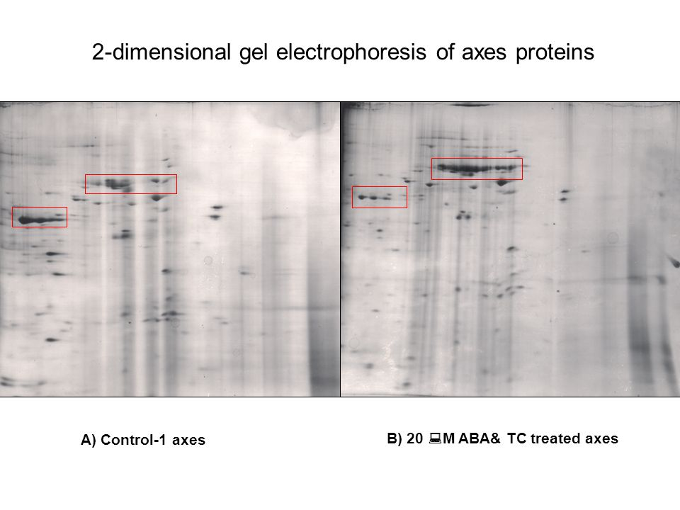 B) 20 M ABA& TC treated axes A) Control-1 axes 2-dimensional gel electrophoresis of axes proteins