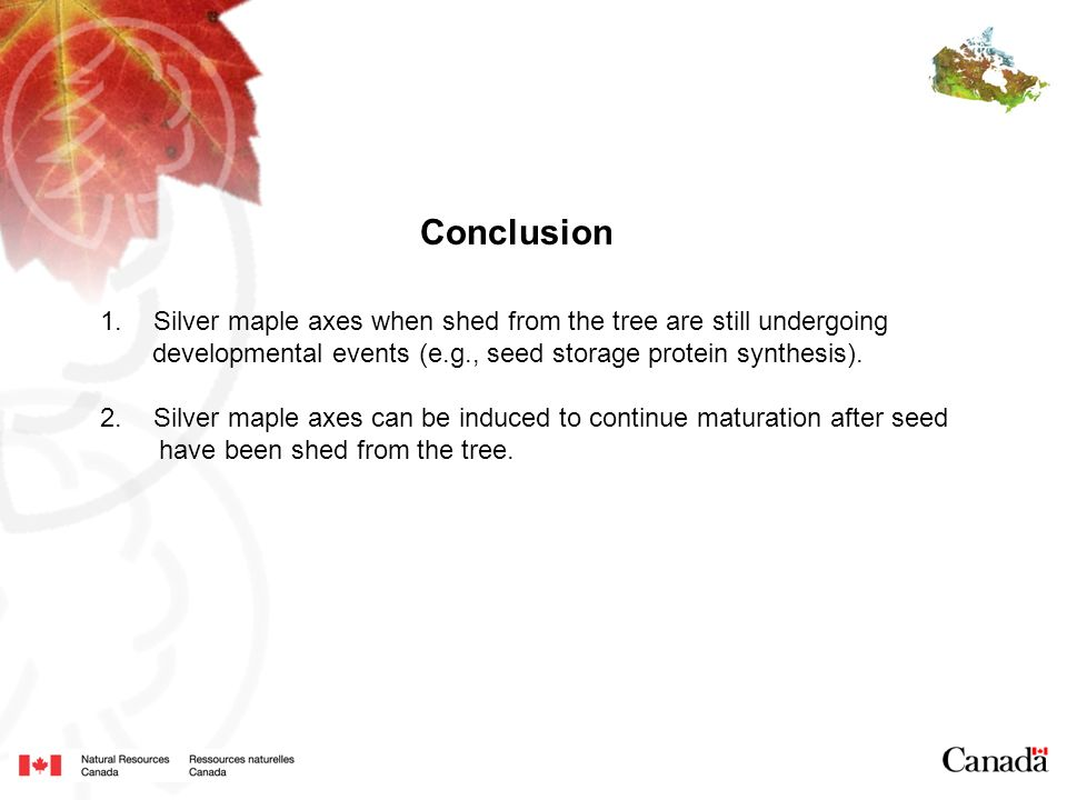 Conclusion 1.Silver maple axes when shed from the tree are still undergoing developmental events (e.g., seed storage protein synthesis). 2.Silver mapl