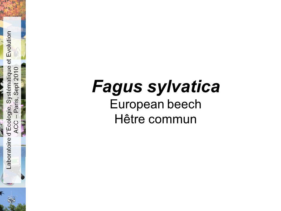 Fagus sylvatica European beech Hêtre commun Laboratoire dEcologie, Systématique et Evolution ACC – Paris, Sept 2010