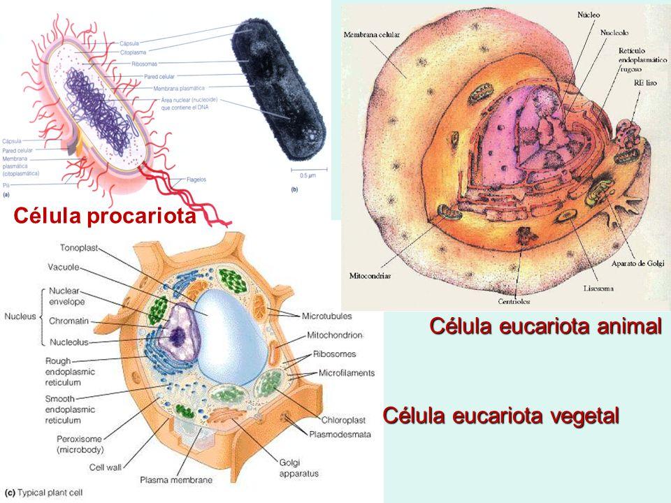 Célula eucariota animal Célula eucariota vegetal Célula procariota