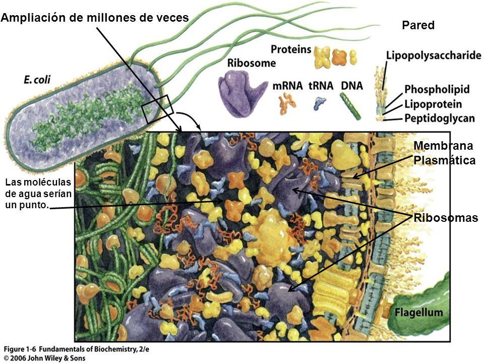 Pared Membrana Plasmática Ribosomas Ampliación de millones de veces Las moléculas de agua serían un punto.