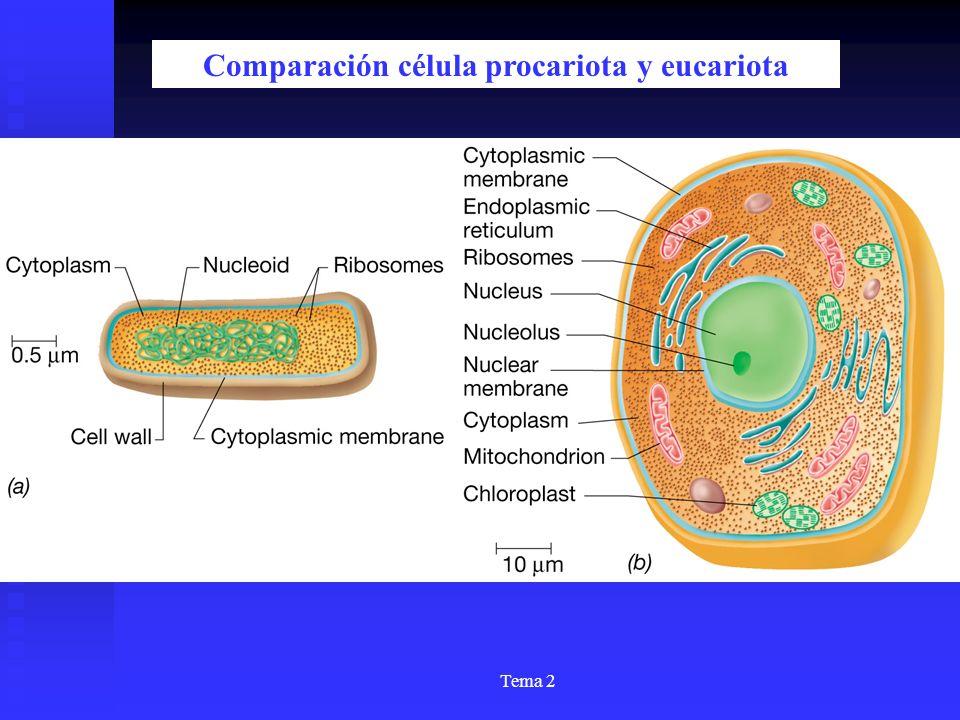 Tema 2 Comparación célula procariota y eucariota
