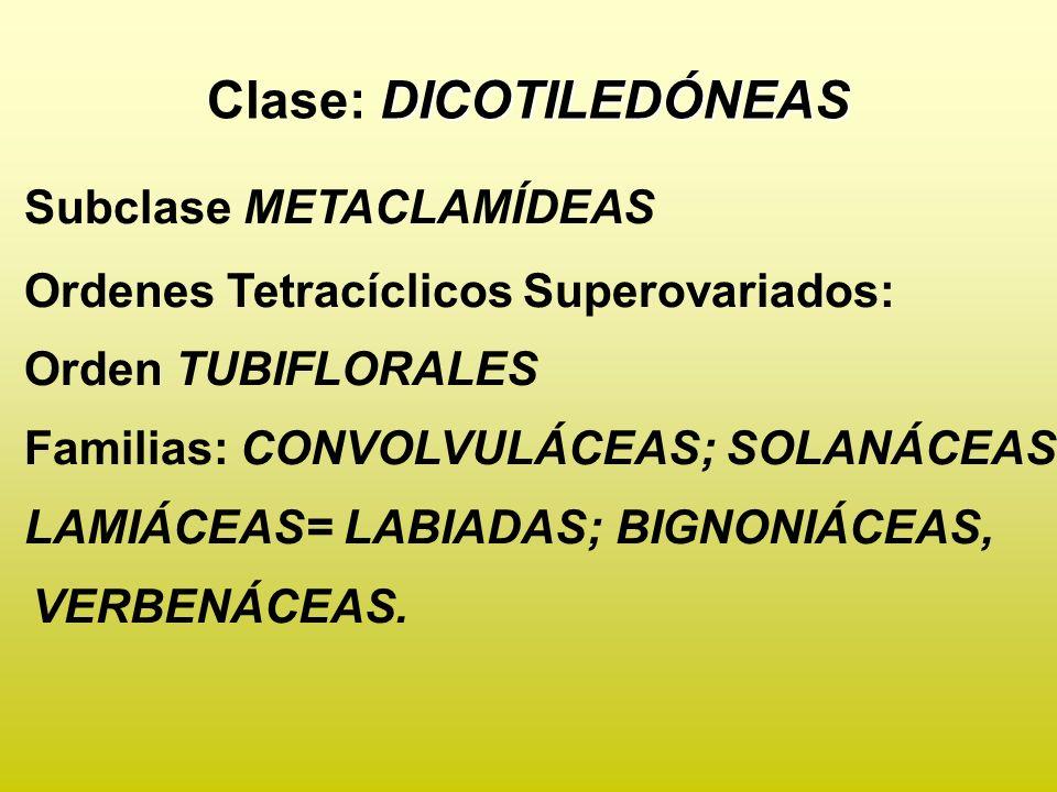 DICOTILEDÓNEAS Clase: DICOTILEDÓNEAS Subclase METACLAMÍDEAS Ordenes Tetracíclicos Superovariados: Orden TUBIFLORALES Familias: CONVOLVULÁCEAS; SOLANÁC