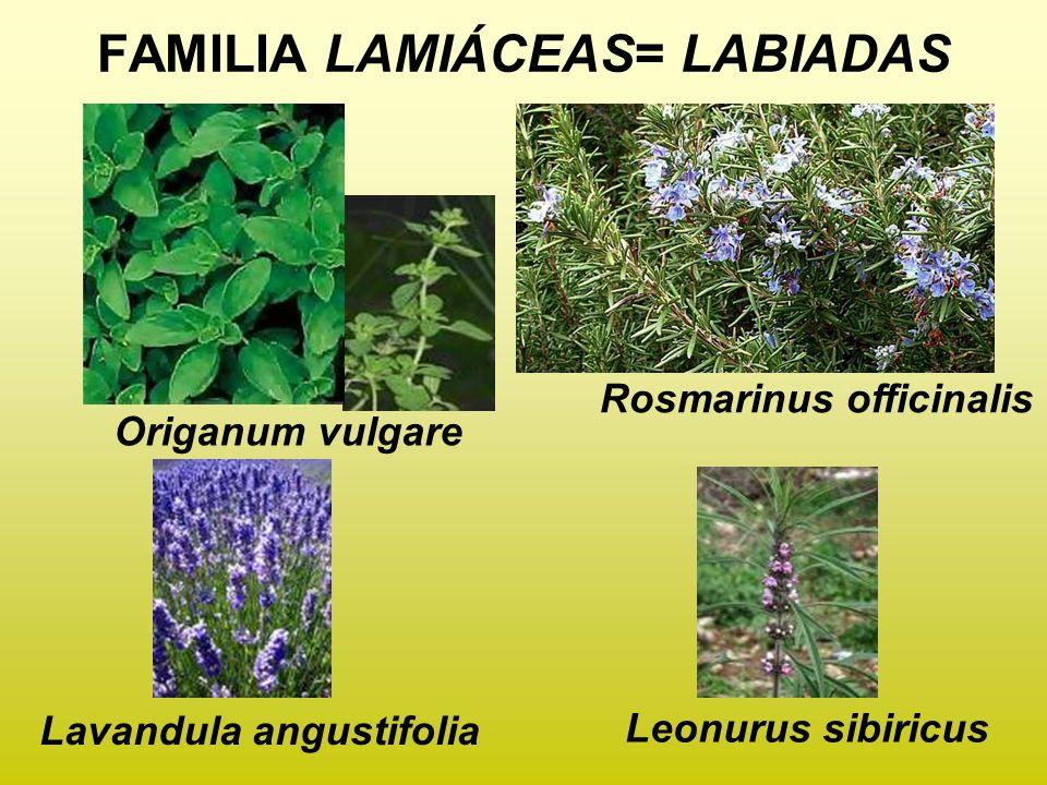 FAMILIA LAMIÁCEAS= LABIADAS Origanum vulgare Rosmarinus officinalis Lavandula angustifolia Leonurus sibiricus