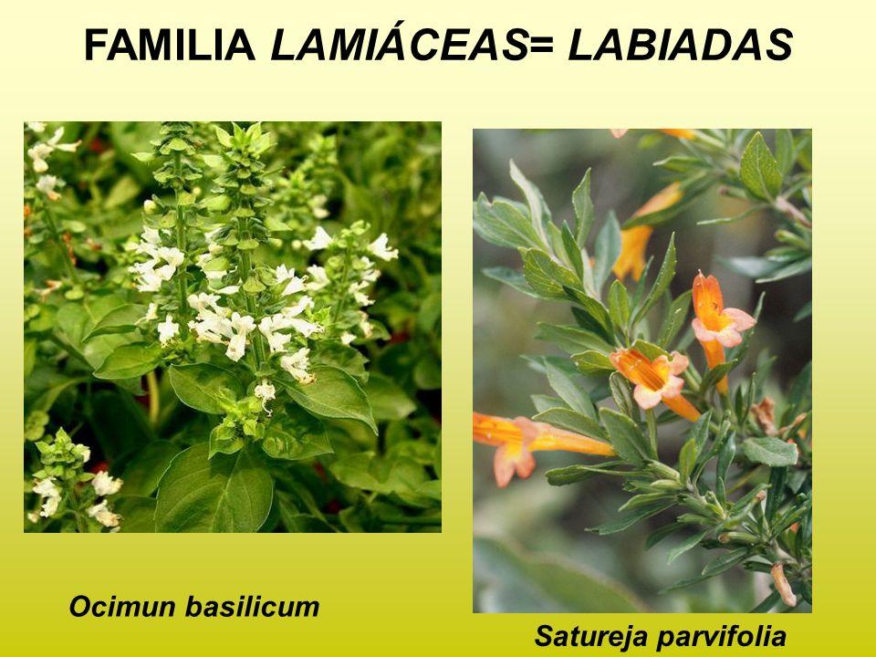 FAMILIA LAMIÁCEAS= LABIADAS Ocimun basilicum Satureja parvifolia