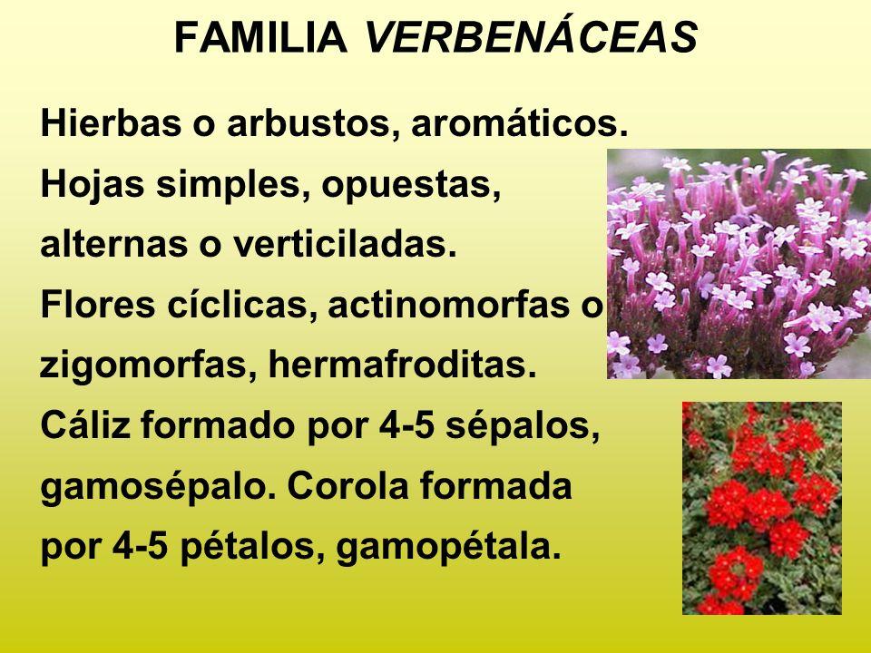 FAMILIA VERBENÁCEAS Hierbas o arbustos, aromáticos. Hojas simples, opuestas, alternas o verticiladas. Flores cíclicas, actinomorfas o zigomorfas, herm