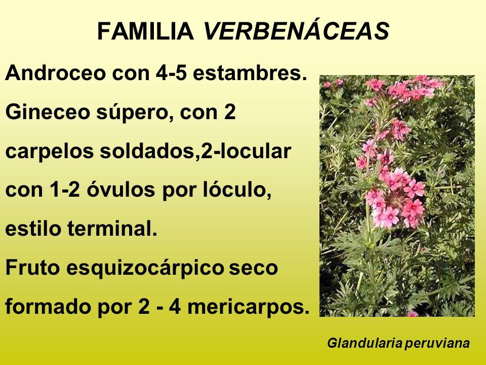 FAMILIA VERBENÁCEAS Androceo con 4-5 estambres. Gineceo súpero, con 2 carpelos soldados,2-locular con 1-2 óvulos por lóculo, estilo terminal. Fruto es