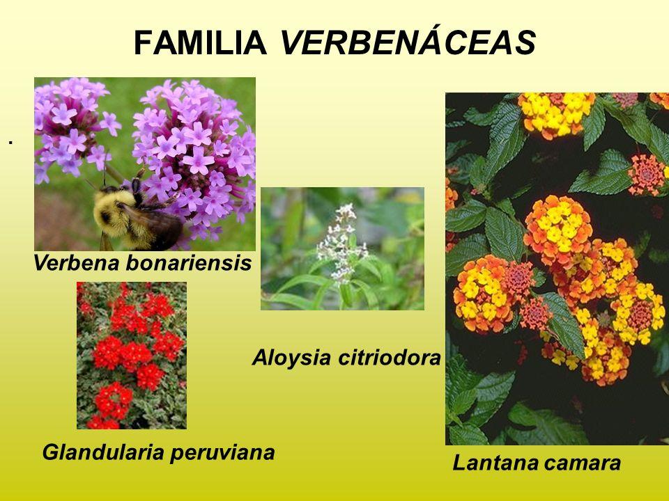 FAMILIA VERBENÁCEAS. Aloysia citriodora Glandularia peruviana Lantana camara Verbena bonariensis