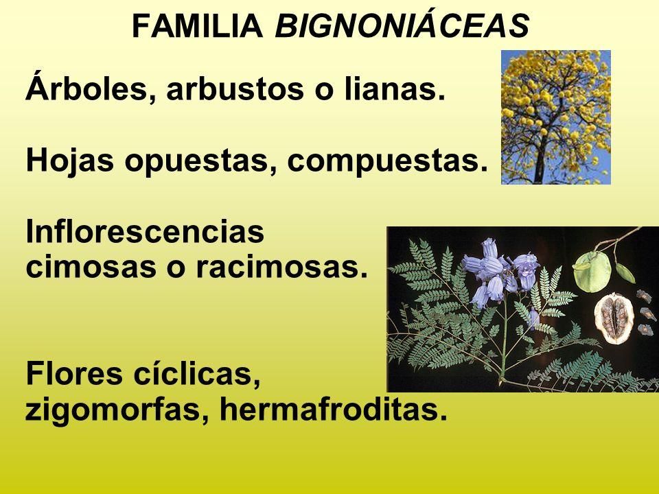 FAMILIA BIGNONIÁCEAS Árboles, arbustos o lianas. Hojas opuestas, compuestas. Inflorescencias cimosas o racimosas. Flores cíclicas, zigomorfas, hermafr