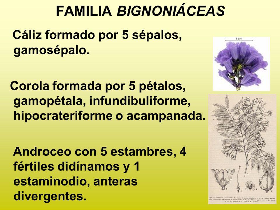 FAMILIA BIGNONIÁCEAS Cáliz formado por 5 sépalos, gamosépalo. Corola formada por 5 pétalos, gamopétala, infundibuliforme, hipocrateriforme o acampanad