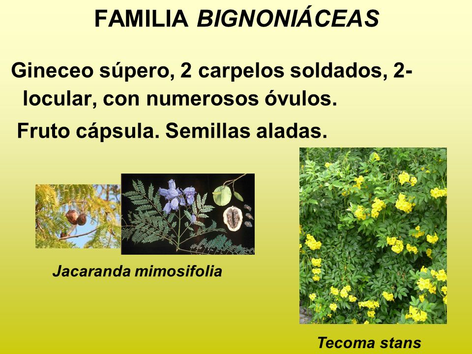 FAMILIA BIGNONIÁCEAS Gineceo súpero, 2 carpelos soldados, 2- locular, con numerosos óvulos. Fruto cápsula. Semillas aladas. Jacaranda mimosifolia Teco
