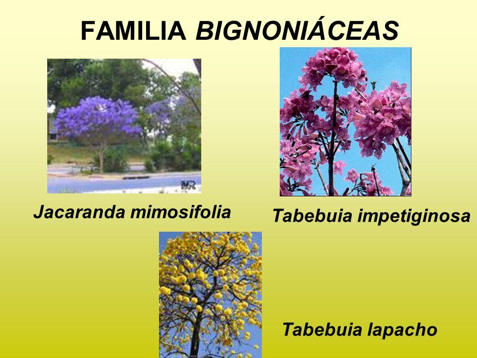 FAMILIA BIGNONIÁCEAS Tabebuia lapacho Tabebuia impetiginosa Jacaranda mimosifolia