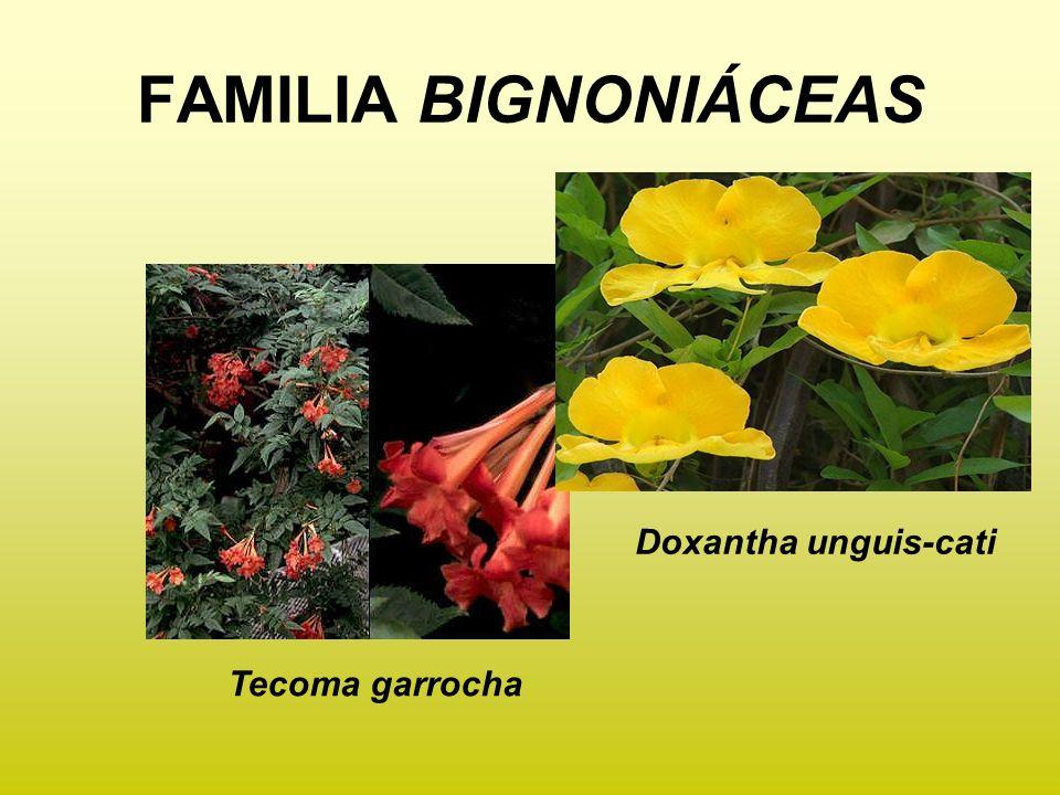 Tecoma garrocha Doxantha unguis-cati FAMILIA BIGNONIÁCEAS