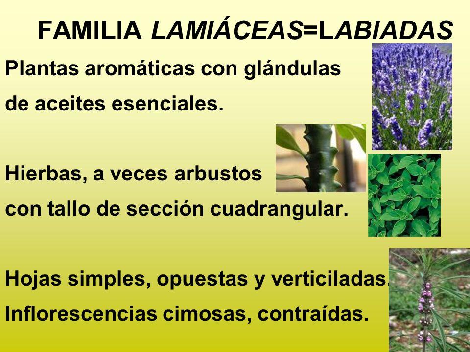 Plantas aromáticas con glándulas de aceites esenciales. Hierbas, a veces arbustos con tallo de sección cuadrangular. Hojas simples, opuestas y vertici