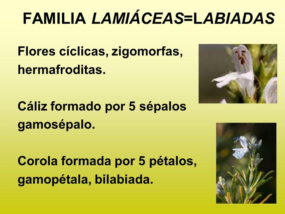 Flores cíclicas, zigomorfas, hermafroditas. Cáliz formado por 5 sépalos gamosépalo. Corola formada por 5 pétalos, gamopétala, bilabiada. FAMILIA LAMIÁ