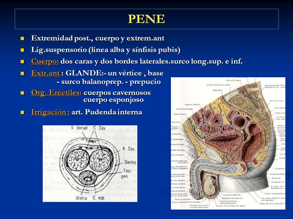 PENE Extremidad post., cuerpo y extrem.ant Extremidad post., cuerpo y extrem.ant Lig.suspensorio (linea alba y sínfisis pubis) Lig.suspensorio (linea