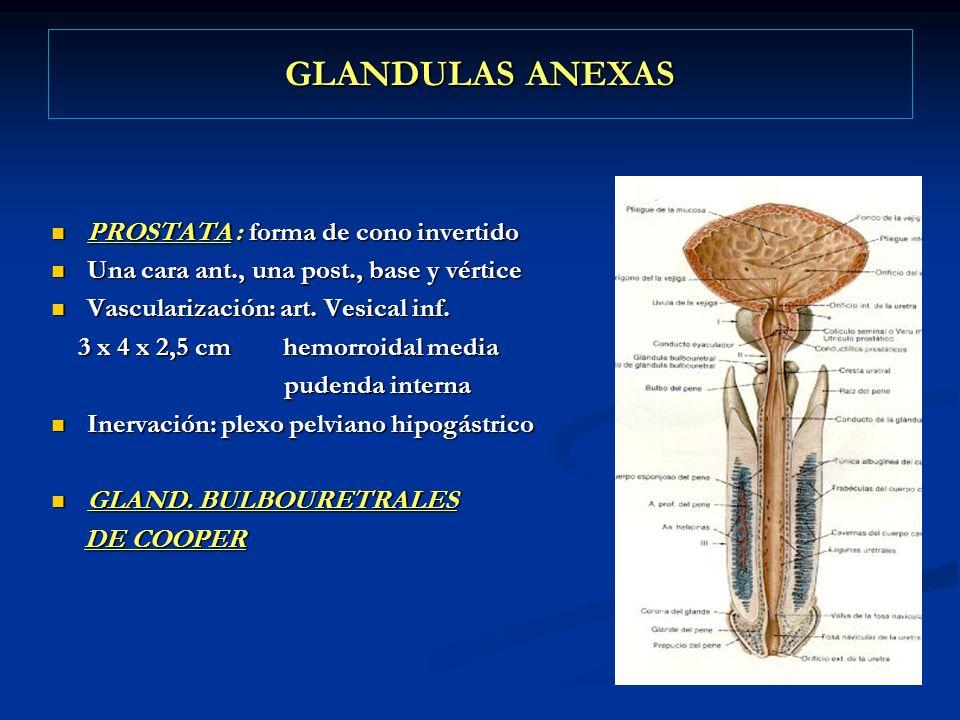 GLANDULAS ANEXAS PROSTATA : forma de cono invertido PROSTATA : forma de cono invertido Una cara ant., una post., base y vértice Una cara ant., una pos