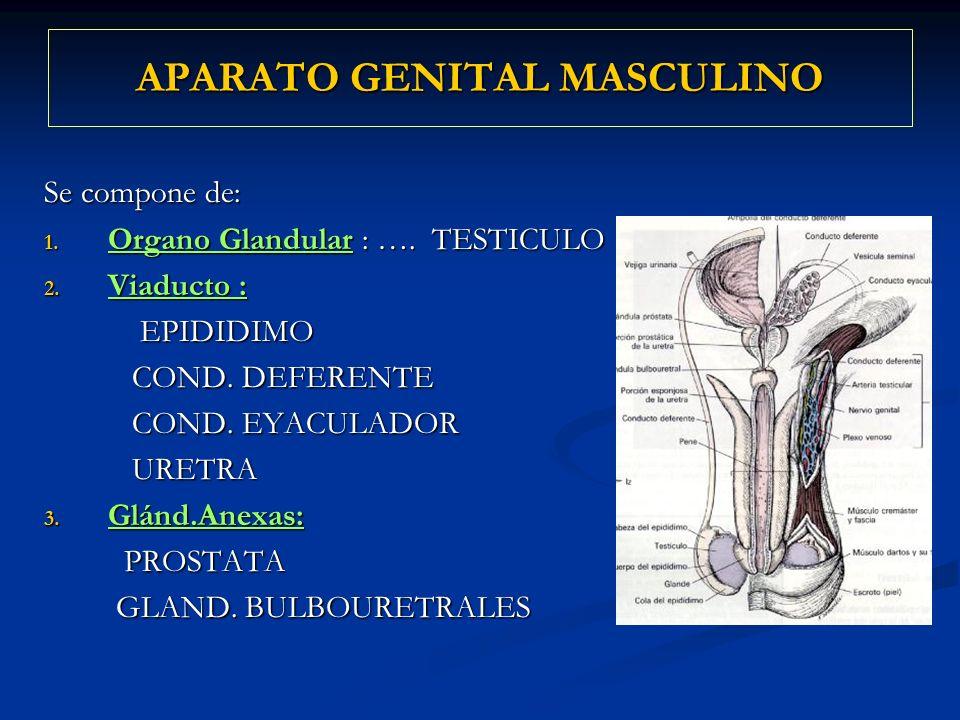 Se compone de: 1. Organo Glandular : …. TESTICULO 2. Viaducto : EPIDIDIMO EPIDIDIMO COND. DEFERENTE COND. DEFERENTE COND. EYACULADOR COND. EYACULADOR