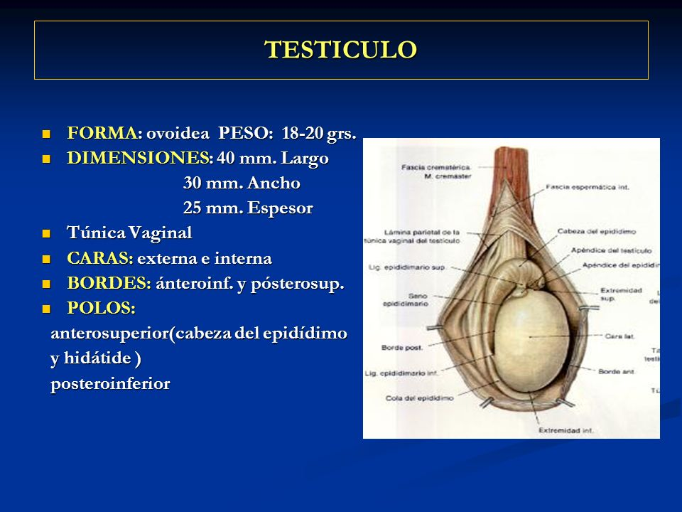 TESTICULO FORMA: ovoidea PESO: 18-20 grs. FORMA: ovoidea PESO: 18-20 grs. DIMENSIONES: 40 mm. Largo DIMENSIONES: 40 mm. Largo 30 mm. Ancho 30 mm. Anch