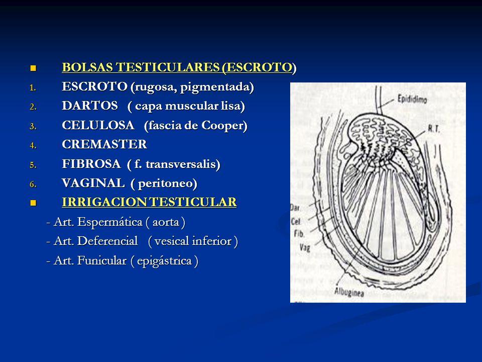 BOLSAS TESTICULARES (ESCROTO) BOLSAS TESTICULARES (ESCROTO) 1. ESCROTO (rugosa, pigmentada) 2. DARTOS ( capa muscular lisa) 3. CELULOSA (fascia de Coo