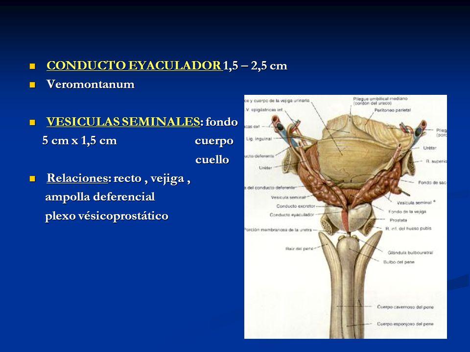 CONDUCTO EYACULADOR 1,5 – 2,5 cm CONDUCTO EYACULADOR 1,5 – 2,5 cm Veromontanum Veromontanum VESICULAS SEMINALES: fondo VESICULAS SEMINALES: fondo 5 cm