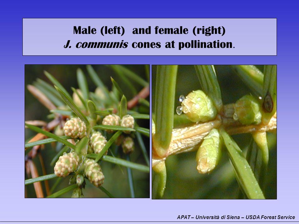 Male (left) and female (right) J. communis cones at pollination. AB APAT – Università di Siena – USDA Forest Service