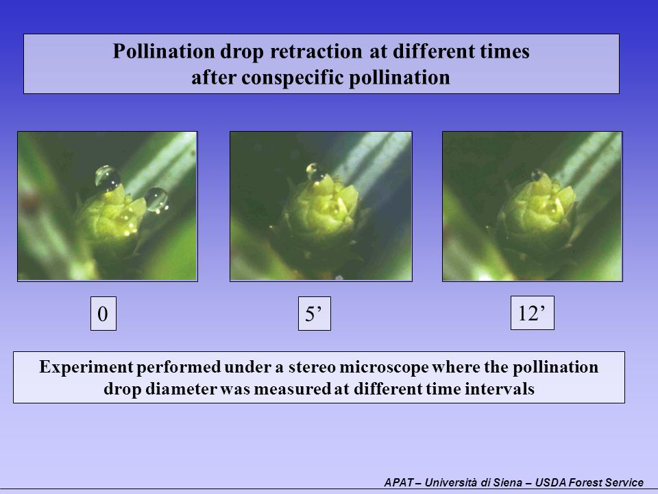 Pollination drop retraction at different times after conspecific pollination 05 12 Experiment performed under a stereo microscope where the pollinatio