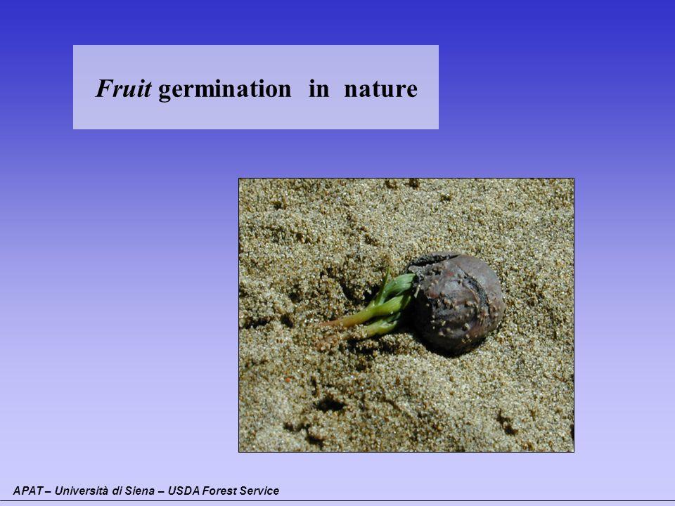 Fruit germination in nature APAT – Università di Siena – USDA Forest Service