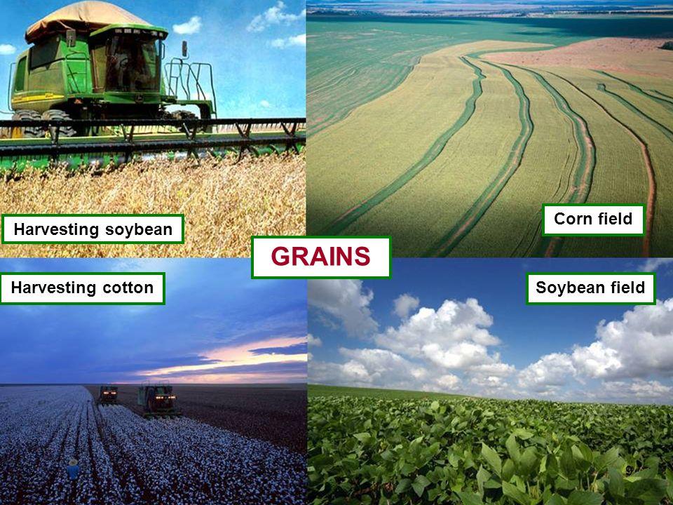 Harvesting soybean Harvesting cotton Corn field Soybean field GRAINS 9