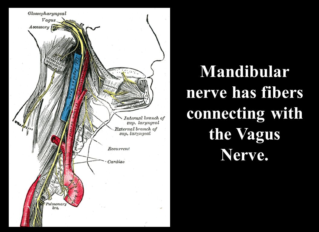 Mandibular nerve has fibers connecting with the Vagus Nerve.
