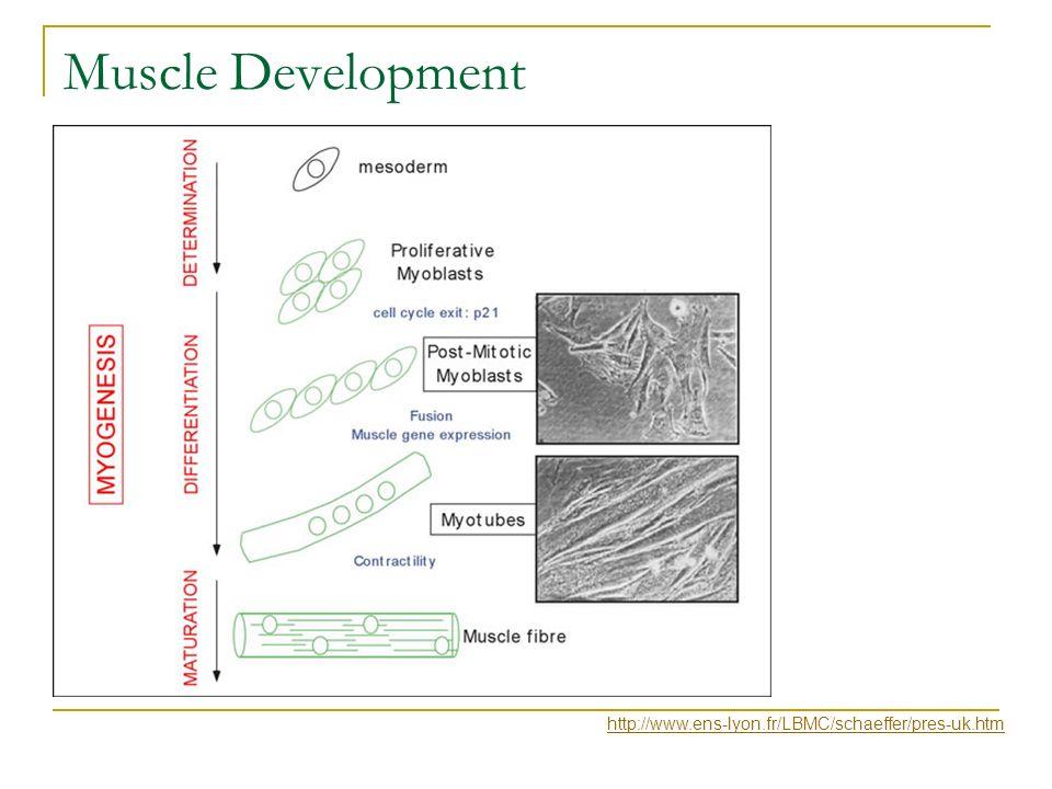 Muscle Development http://www.ens-lyon.fr/LBMC/schaeffer/pres-uk.htm