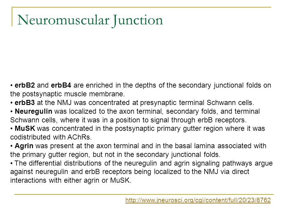 Neuromuscular Junction erbB2 and erbB4 are enriched in the depths of the secondary junctional folds on the postsynaptic muscle membrane. erbB3 at the