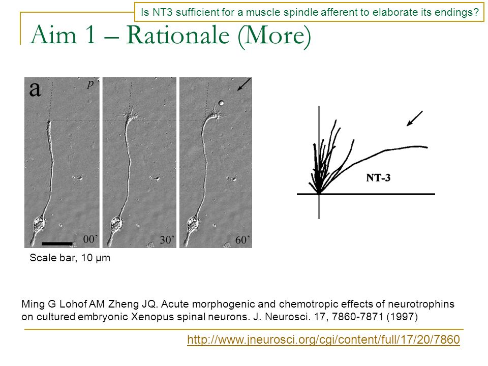 Is NT3 sufficient for a muscle spindle afferent to elaborate its endings? Ming G Lohof AM Zheng JQ. Acute morphogenic and chemotropic effects of neuro
