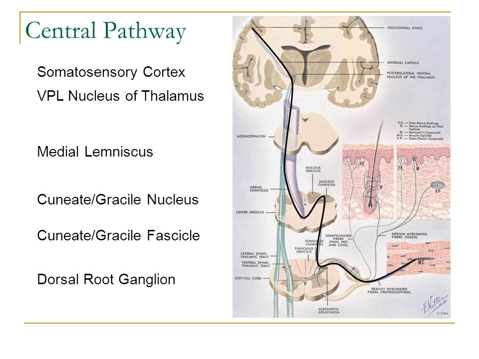 Central Pathway Dorsal Root Ganglion Cuneate/Gracile Fascicle Cuneate/Gracile Nucleus Medial Lemniscus VPL Nucleus of Thalamus Somatosensory Cortex