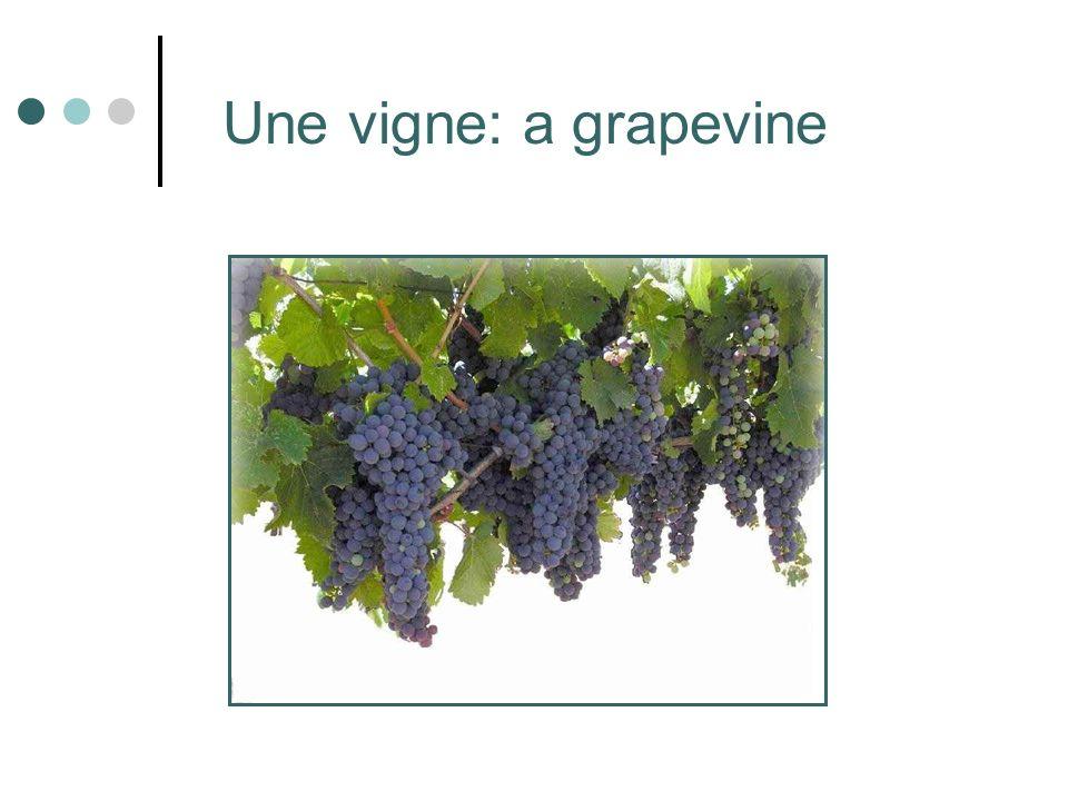Une vigne: a grapevine