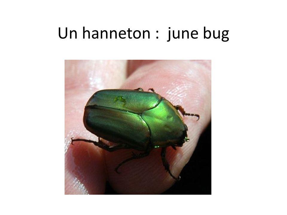 Un hanneton : june bug
