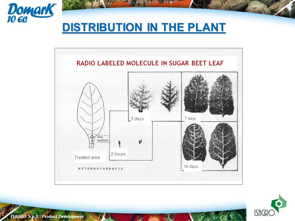 ISAGRO S.p.A - Product Development Treated area 2 hours 3 days 7 days 14 days RADIO LABELED MOLECULE IN SUGAR BEET LEAF DISTRIBUTION IN THE PLANT