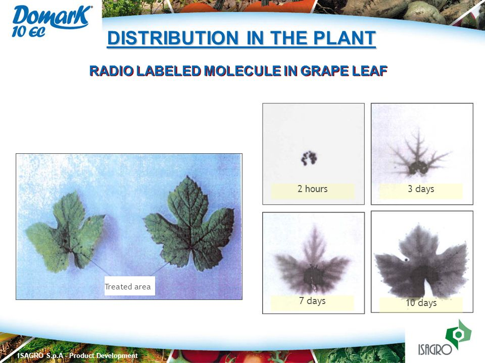 ISAGRO S.p.A - Product Development RADIO LABELED MOLECULE IN GRAPE LEAF 2 hours3 days 7 days 10 days Treated area DISTRIBUTION IN THE PLANT