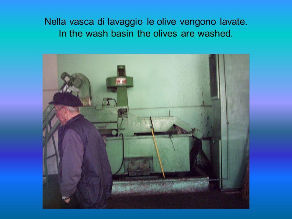 Il nastro trasporta le olive nella vasca di lavaggio. The belt conveys the olives into the wash basin.