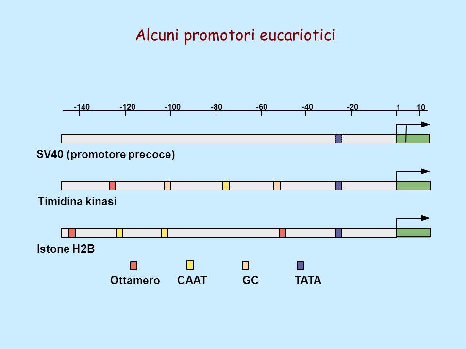 Alcuni promotori eucariotici 1 -20-40-60-80-100 10 -120-140 OttameroCAATGCTATA SV40 (promotore precoce) Timidina kinasi Istone H2B