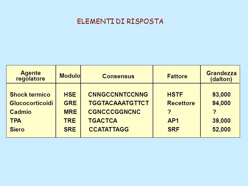 Agente regolatore Modulo ConsensusFattore Grandezza (dalton) Shock termico Glucocorticoidi Cadmio TPA Siero HSE GRE MRE TRE SRE CNNGCCNNTCCNNG TGGTACA
