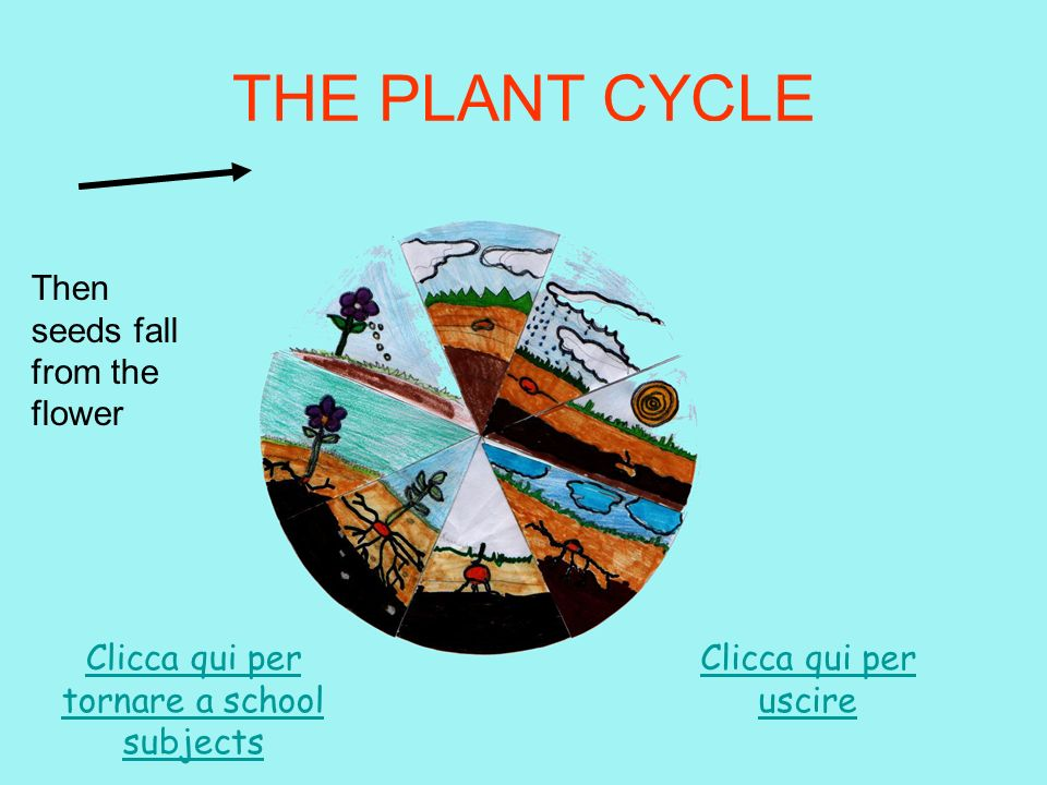 THE PLANT CYCLE A flower grows on the plant