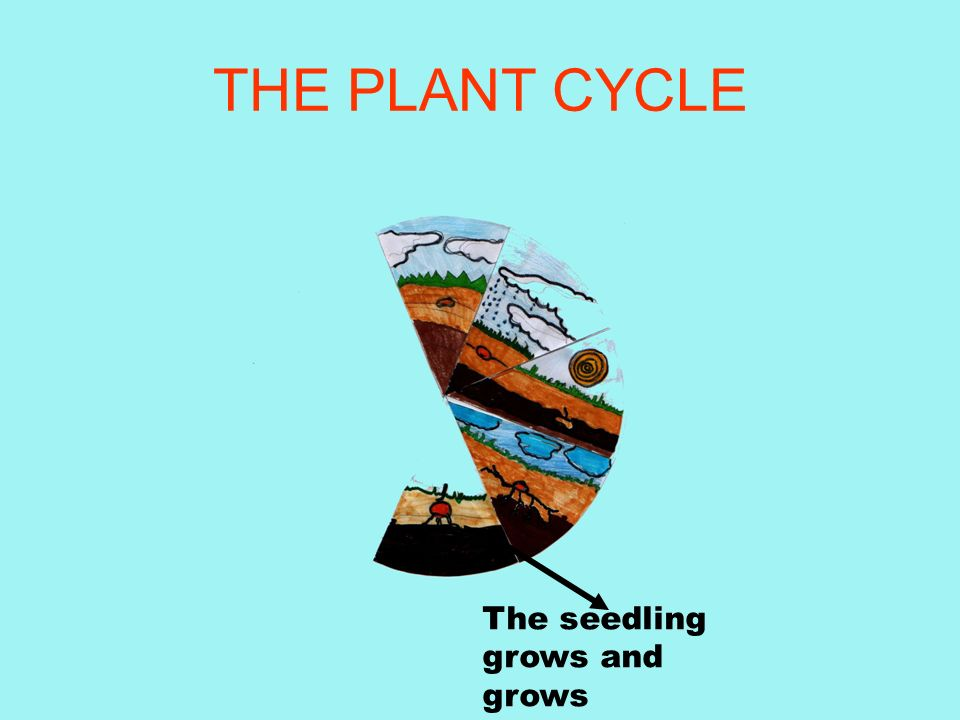 THE PLANT CYCLE Roots grow