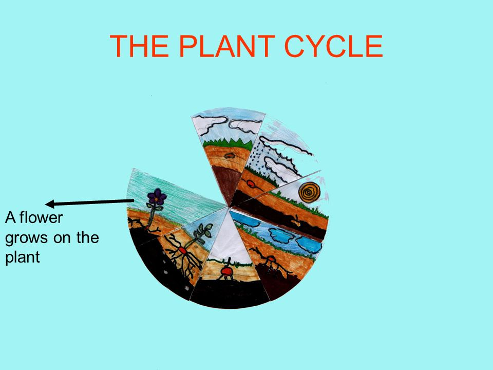 THE PLANT CYCLE After some time leaves appear