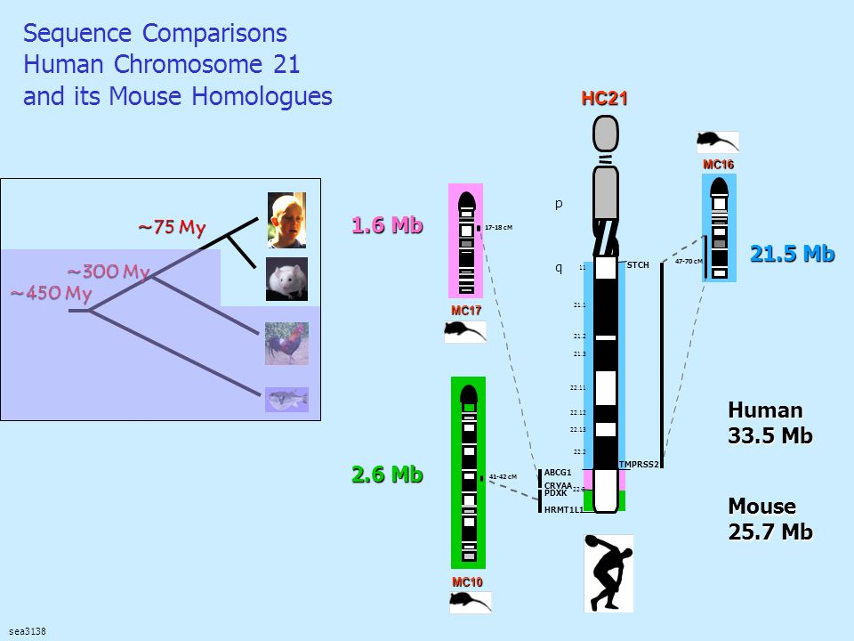 Sequence Comparisons Human Chromosome 21 and its Mouse Homologues sea3138 21.5 Mb 1.6 Mb 2.6 Mb Mouse 25.7 Mb Human 33.5 Mb ~75 My ~300 My ~450 My