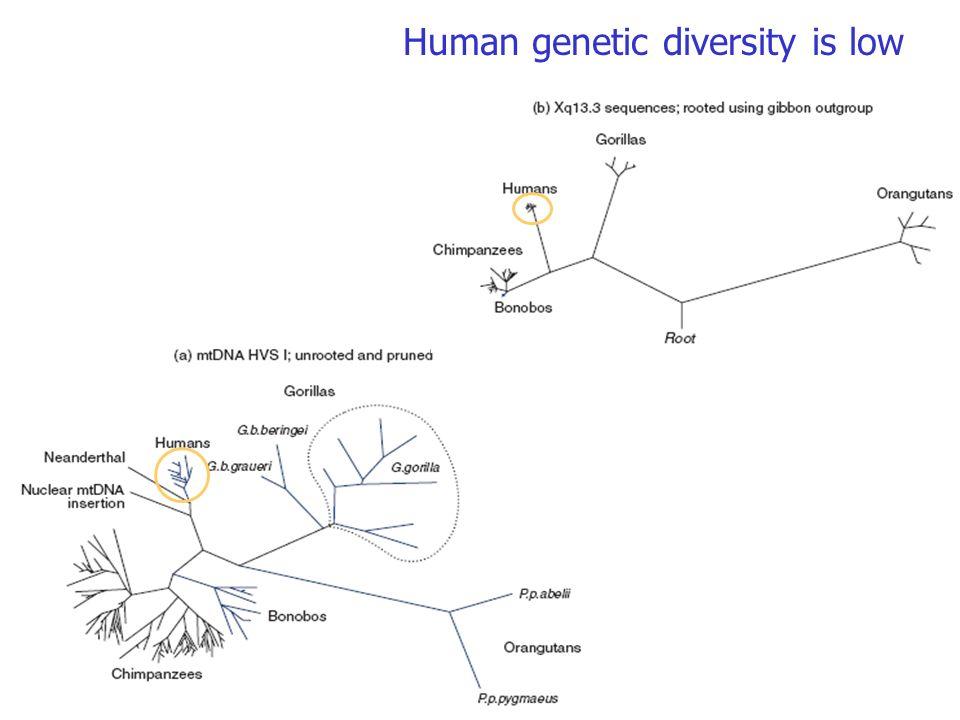 Human genetic diversity is low